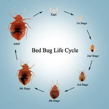 Home Bed Bugs Does Bed Bug Heat Treatment Work bedbug5567 | Detection and Treatment of Bed Bugs